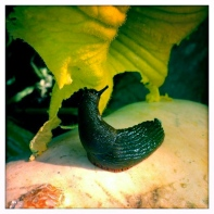 Slug caught munching on a squash flower