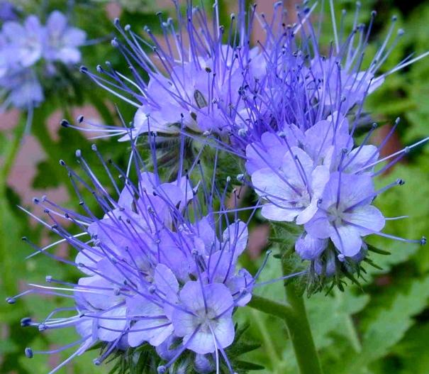 Phacelia_flower